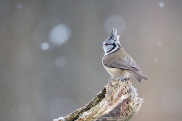 European Crested Tit by DominikaAniola
