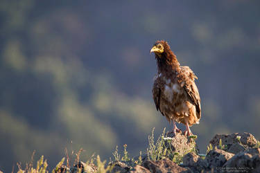 Young Egyptian Vulture by DominikaAniola
