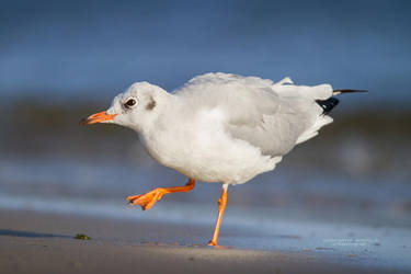 Black-Headed Gull by DominikaAniola