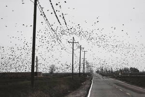 Starlings by SkylerBrown