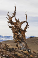 Ancient Bristlecone Pine by SkylerBrown