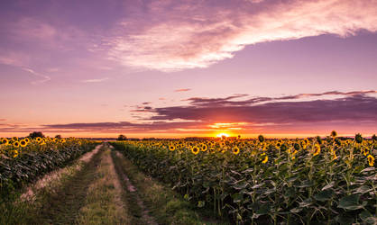 sunset and sunflowers by edinaB