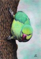Indian ringneck parrot by shanskala