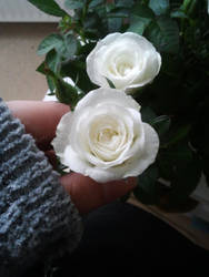 White rose 1 by buffy-odo