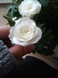 White rose 2 by buffy-odo