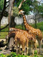 .:Giraffes:. by Zeezy