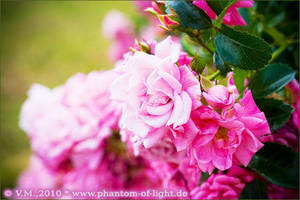 ::pink.flowers:: by Phantom-of-light