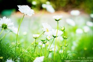 ::white.flowers:: by Phantom-of-light