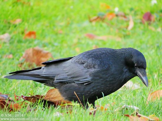 :: crow :: by Phantom-of-light