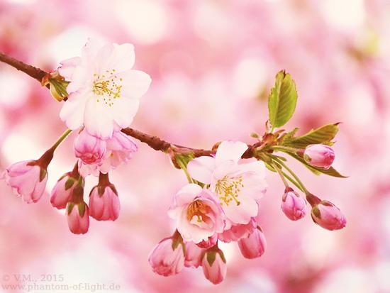 :: Prunus Accolade :: by Phantom-of-light