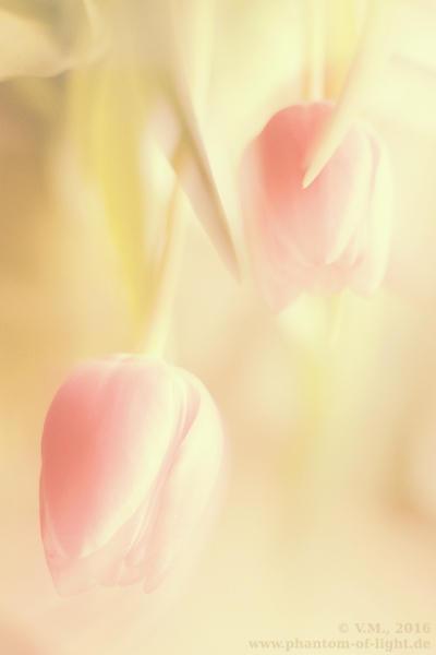 :: pink tulips :: by Phantom-of-light