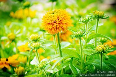 :: Chrysanthemen :: by Phantom-of-light