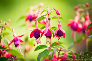 :: fuchsia :: by Phantom-of-light