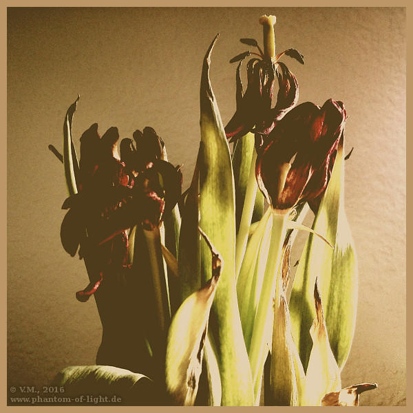 :: dying tulips :: by Phantom-of-light