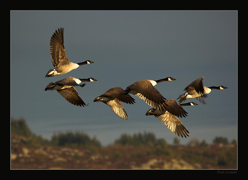Flying goose by TrulsL