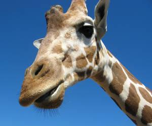 Giraffe close up by flippytiger