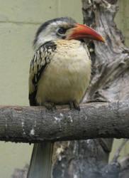 Red billed hornbill by flippytiger