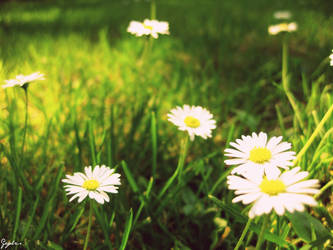 Daisies by Gcylcs