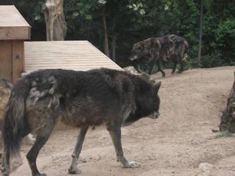 wolf 29 by PeckoltiaBlueStock