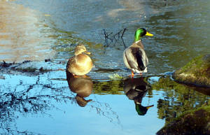 Couple of Ducks on a Ledge by cypris-quynh
