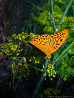 Silver-washed fritillary by Afinodora
