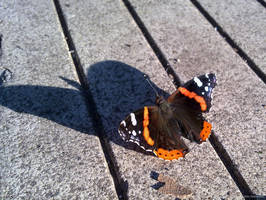 Red Admiral by Afinodora