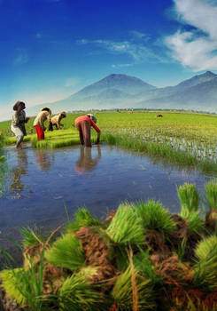 Indonesian Rice Field by nooreva