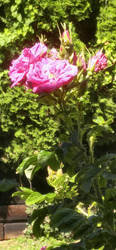 Radiant Rose by MAGAngel