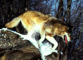 wolf by uno-da-raccoon