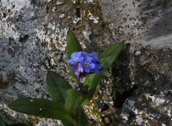 Forget-me-not by m-gosia