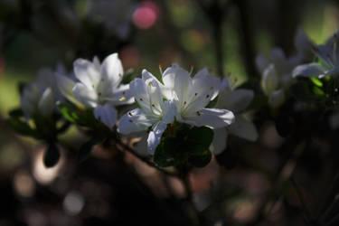 Japanese azalea by m-gosia