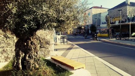 old olive tree in Murter city, Croatia by carrolsmith
