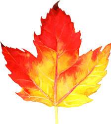 Leaf #31 (Maple, the sixth) by AjaxTelamoneis