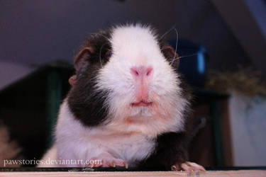 Guinea pig smile by Pawstories