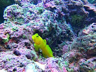Yellow fish by Jjanelita