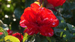 Raindrops on Roses 1 by ChessJess