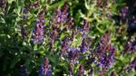 Lavender in Sunlight by ChessJess