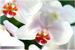 orchid - white by tK78