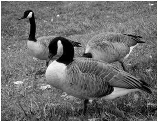 Canadian Geese by Hoodwinkstar