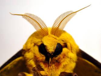 Imperial Moth 3 by TrekkieTechie