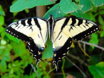 App. Tiger Swallowtail 1 by TrekkieTechie