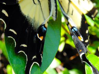 App. Tiger Swallowtail 3 by TrekkieTechie