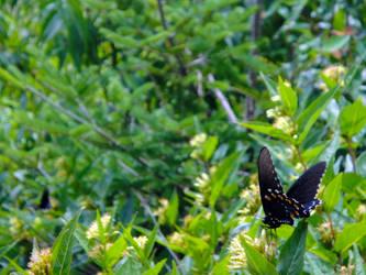 Spicebush Swallowtail in situ by TrekkieTechie