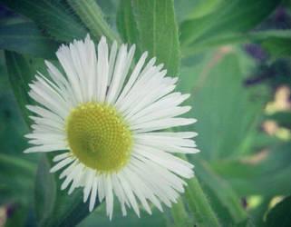Daisy by Meskarune