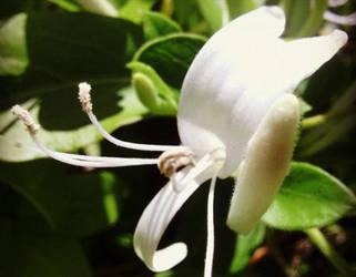 Honeysuckle by Meskarune
