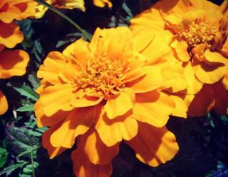 Marigold by Meskarune