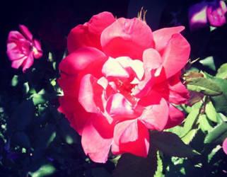 Rose by Meskarune