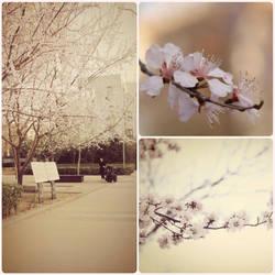 bloomy sakura by huangfengjiao