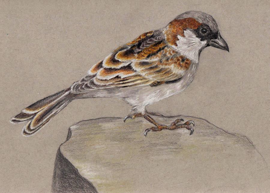 How Sparrow? by Sivia