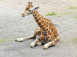 Giraffe by Lexxa24